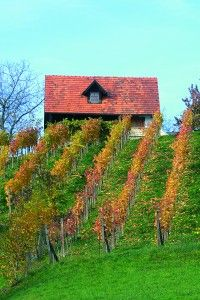 steiler Schilcherweingarten